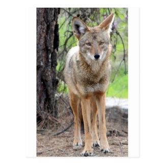 Kojote in Griffith Park 003 Postkarte