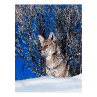 Kojote Postkarte
