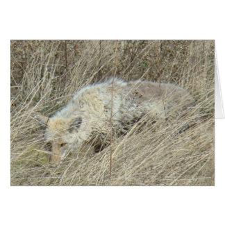 Kojote R0013 im hohen Gras Karte