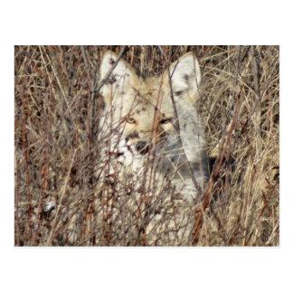 """Kojote R0021 """", der aufpasst Sie """" Postkarte"""