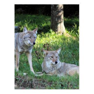 Kojote-Sammlung Postkarte