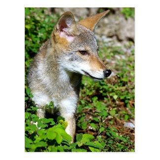 Kojote-Welpen-Profil Postkarte