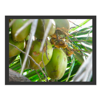 Kokosnüsse auf Palmtree Postkarte