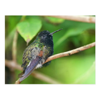 Kolibri im Dschungel-Foto Postkarte