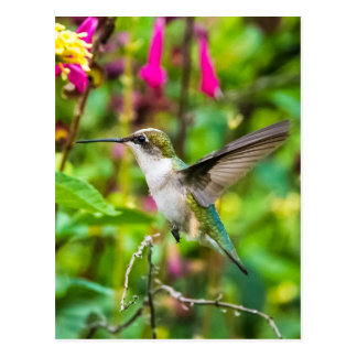 Kolibri im Flug Postkarte