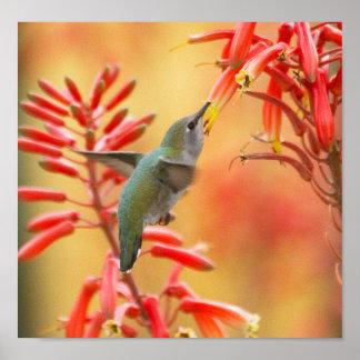 Kolibri umgeben durch roten Yucca Poster