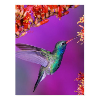 Kolibri und orange Blumen Postkarte