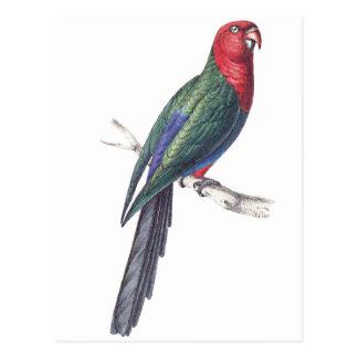 König Parakeet Postkarten