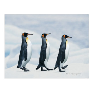 König Penguins, die in Singledatei gehen Postkarte