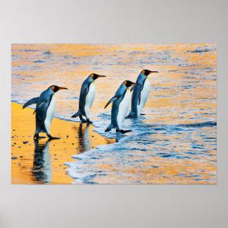 König Pinguine am Sonnenaufgangplakat Poster