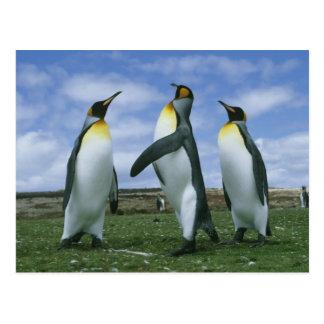 König Pinguine, Aptenodytes patagonicus), Postkarte