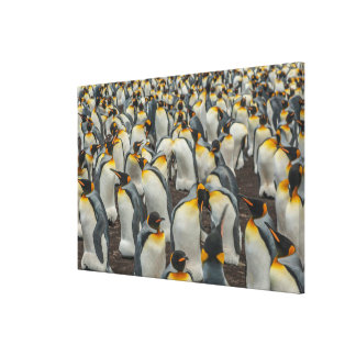 König-Pinguinkolonie, Falkland Leinwanddruck