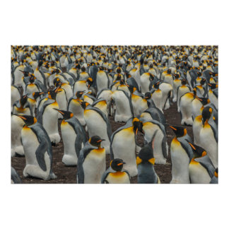 König-Pinguinkolonie, Falkland Poster