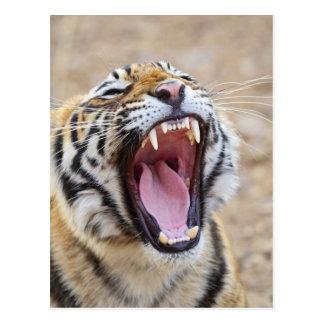 Königlicher bengalischer gähnender Tiger, Postkarten