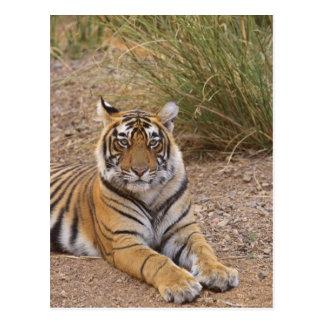 Königlicher bengalischer Tiger, der außerhalb der  Postkarte