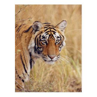 Königlicher bengalischer Tiger, der von aufpasst Postkarte