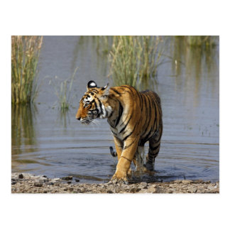 Königlicher bengalischer Tiger im Rajbagh See, Postkarte