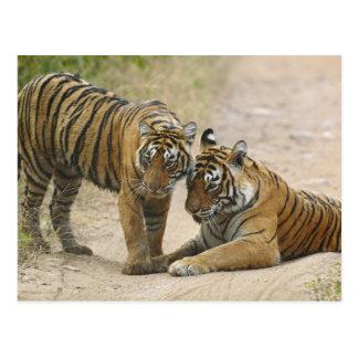 Königlicher bengalischer Tiger und Junge - voran Postkarte