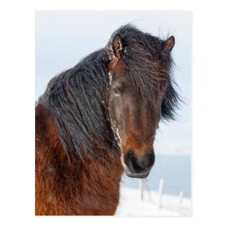 Königlicher isländischer PferdeHeadshot Postkarte