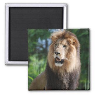 Königlicher Löwe-Magnet Quadratischer Magnet