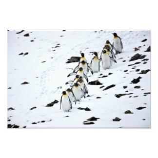 KönigPinguin Aptenodytes patagonicus) Gruppe Fotografische Drucke
