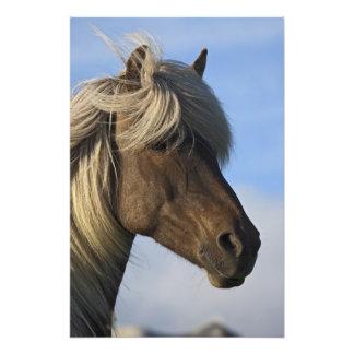 Kopf des isländischen Pferds, Island Fotos