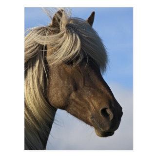 Kopf des isländischen Pferds, Island Postkarte