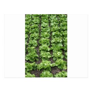 Kopfsalat-Garten Postkarte