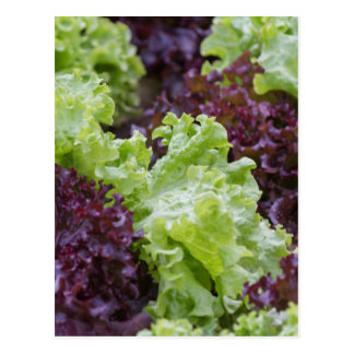 Kopfsalat im Garten Postkarte