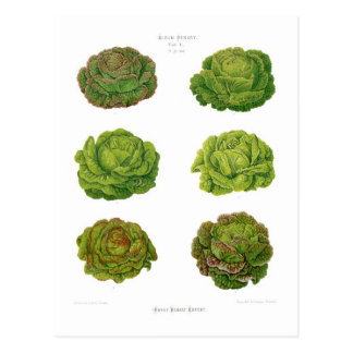 Kopfsalate Postkarte