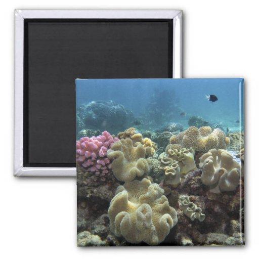 Koralle, Agincourt Riff, Great Barrier Reef, Kühlschrankmagnet