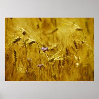 Kornblume im Getreide Poster