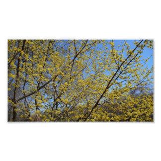 Kornelkirsche-Hartriegel und blauer Himmel mit Fotodruck