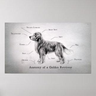 Korrekte Anatomie eines golden retriever Poster
