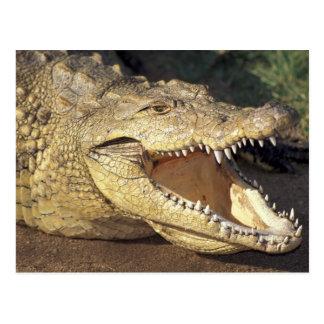 Krokodil Afrikas, Südafrika Nil Postkarte