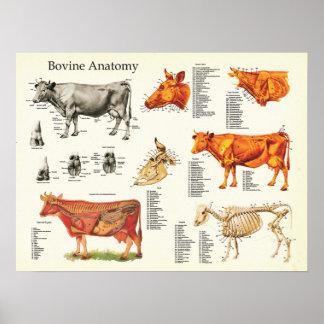 """Kuh-anatomisches Rinderdiagramm - 18"""" X 24"""" Poster"""