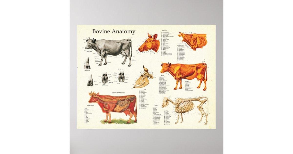 Großzügig Kuh Anatomie Und Physiologie Galerie - Anatomie Ideen ...