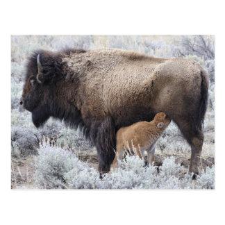 Kuh-Krankenpflege-Bison-Kalb, Yellowstone 2 Postkarte