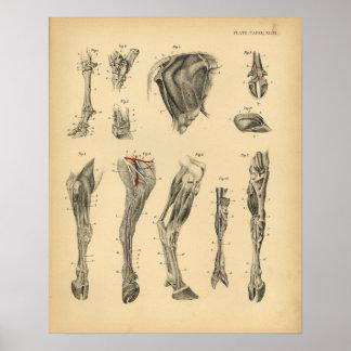 Kuh-Ochsen-Fuß-Bein-Anatomie 1908 Vintager Druck Poster