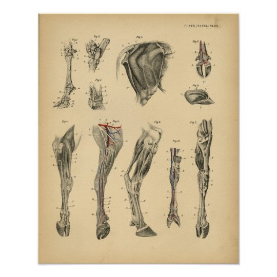 kuh ochsen fu bein anatomie 1908 vintager druck poster zazzle. Black Bedroom Furniture Sets. Home Design Ideas