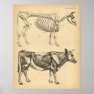 Kuh-Ochsen-Skeleton Muskel-Anatomie 1908 Vintager Poster