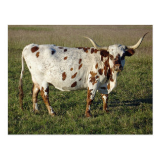 Kuh Texas Longhorn Postkarte