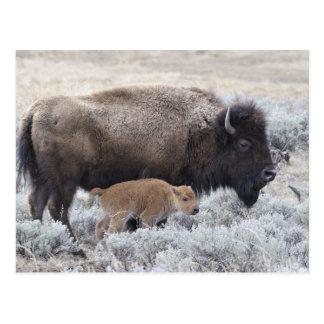 Kuh-und Kalb-Bison, Yellowstone 2 Postkarte