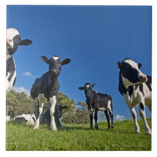 Kühe, die auf Weide füttern Große Quadratische Fliese