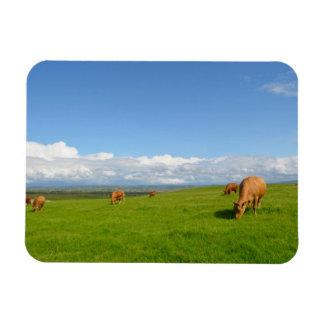 Kühe, die in einer Wiese, Irland-Rechteckmagnet Magnet