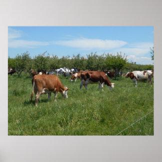 Kühe in der Weide Poster