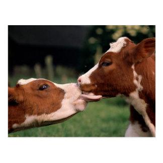 Küssen der Kühe Postkarte