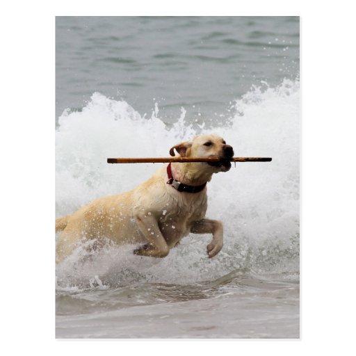 Labrador - Gelb - gehen Sie Reichweite! Postkarten