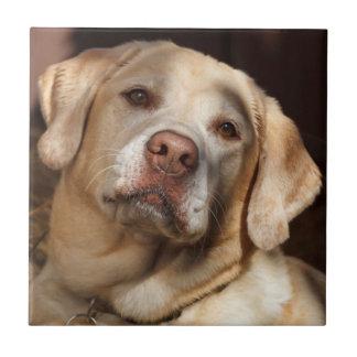 Labrador retriever 2 keramikfliese