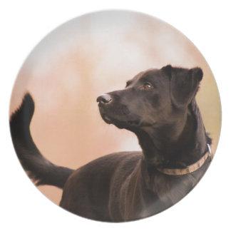 Labrador Teller